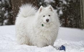 Картинка зима, снег, собака, белая