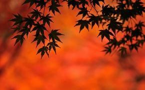Картинка клен, осень, фон, листья