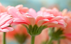 Картинка Pink, Flower, Gerbera