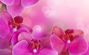 Картинка цветы, нежность, красота, лепестки, орхидеи, орхидея, pink, flowers, beauty, фаленопсис, phalaenopsis, Orchid, petals, tenderness, bright, ...