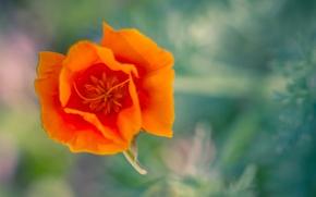 Картинка цветок, макро, оранжевый, калифорнийский мак, эшштольция