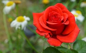 Картинка макро, роза, лепестки, сад