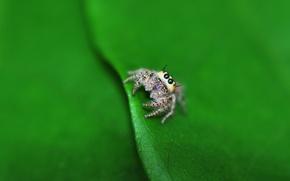 Картинка макро, лист, паук, lil spider
