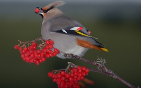 Картинка ягоды, фон, птица, рябина