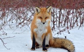 Картинка взгляд, снег, лиса, лисица
