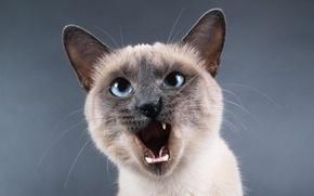 Картинка кот, усы, рот, нос, уши, мяу