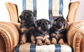 Картинка кресло, щенки, трио, немецкая овчарка