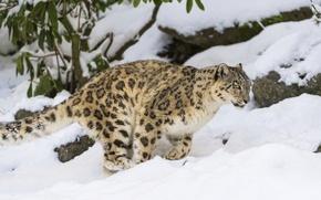 Картинка зима, кошка, снег, ирбис, снежный барс, ©Tambako The Jaguar