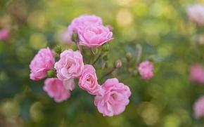 Картинка лето, цветы, куст, розы