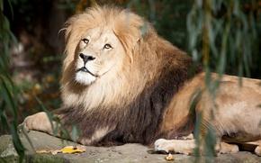 Картинка кошка, камень, лев, грива