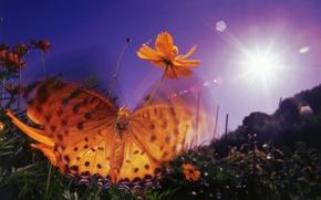 Картинка фиолетовый, небо, солнце, цветы, оранжевый, блики, бабочка, крылья, вечер, насекомое, обои от lolita777