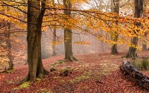 Картинка осень, лес, туман, желтые листья