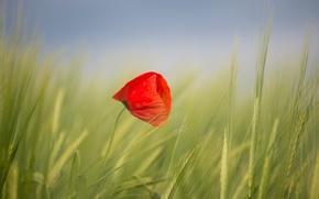 Обои небо, поле, мак, цветок