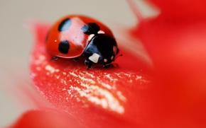 Картинка red, flower, nature, leaf, insect, vegetation, ladybird, eetle