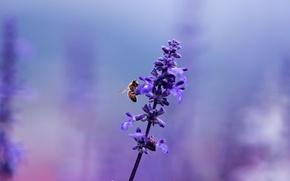 Обои макро, сиреневый, лаванда, цветок, фиолетовый, цвет, поляна, лиловый, размытость, насекомое, растение, пчела