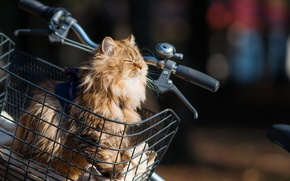 Картинка кошка, солнце, велосипед, корзина, Daisy, Ben Torode, Benjamin, Torode