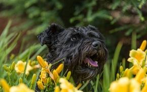 Картинка морда, цветы, лилии, собака