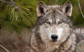Картинка волк, хищник, wolf, суровый взгляд