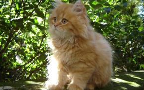 Картинка кошка, пушистый, Котенок, малыш, рыжий, котэ