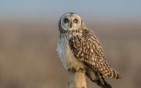 Картинка взгляд, птица, Болотная сова