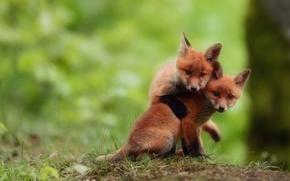 Картинка лисы, играют, смотрят, два брата, лисята