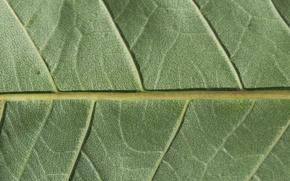 Обои plant, chlorophyll, leaf, green
