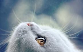 Обои кошка, усы, морда, глаз, шерсть, белая, Kremena Pashova