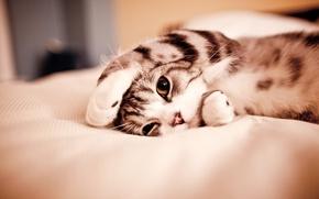 Обои кошка, усы, wallpapers, кровать, обои, валяется, глаза, картинки, мордочка, нос, кот, лапы, забавный