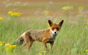 Обои рыжая, трава, лиса, поле, лисичка
