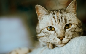 Обои усы, боке, мордочка, фото, нос, глаза, кот