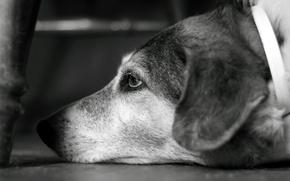 Обои собака, взгляд, пёсик, ч/б, боке, b&w, bokeh, dog, look, 2560x1600