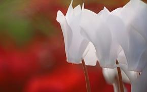 Картинка белый, макро, цветы, размыто, цикламены, цикламен, обои от lolita777