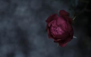 Картинка фокус, макро, бутон, фон, flower, роза, rose, лепестки, настроение, текстура, стебель, beautiful, nature