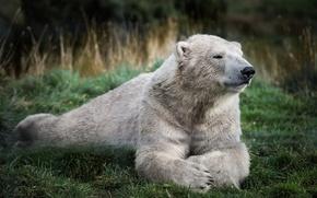 Картинка зелень, белый, трава, отдых, медведь, мишка, полярный