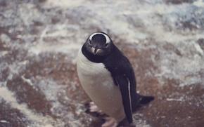 Картинка животное, пингвин, смотрит