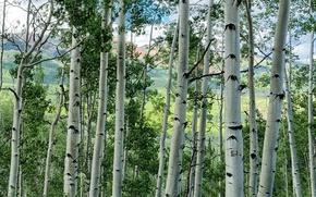 Картинка зелень, трава, деревья, холмы, поля, роща, кусты, осины