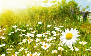 Обои цветы, ромашки, ромашка, макро поле, растения