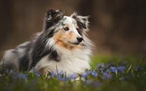 Картинка поле, лето, цветы, собака, луг, щенок, колли, обои от lolita777