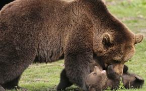 Картинка животные, природа, хищники, медведи, медвежонок, детёныш, медведица