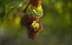 Картинка листья, размытость, ягода, виноград, гроздь