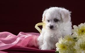 Картинка белый, цветы, щенок, хризантемы, бишон фризе