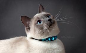 Картинка кошка, глаза, кот, серый фон, тайский кот, тайская кошка