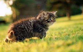 Обои взгляд, серый, прогулка, котенок, зелень, трава, глаза, весна
