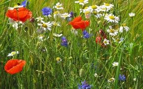 Картинка поле, трава, цветы, мак, ромашка, луг