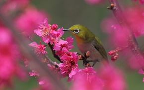 Картинка цветы, дерево, птица, весна, розовые, цветение, фруктовое