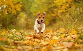 Картинка осень, радость, природа, листва, скорость, собака, бег, пасть, боке