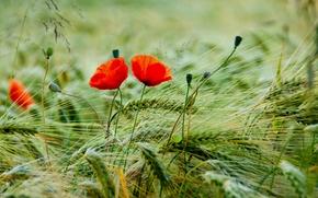 Картинка поле, макро, цветы, лепестки, размытость, колоски, Маки, красные, бутоны