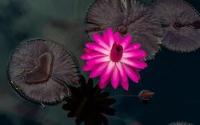 Картинка листья, вода, капли, розовая, лепестки, кувшинка, бутоны, цветение, водоем