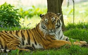 Обои усы, хищник, отдых, морда, тигр, тень, трава, поолосатая кошка