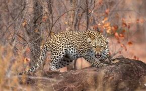 Картинка осень, лес, листья, ветки, камень, хищник, леопард, оскал, боке, пятнистый